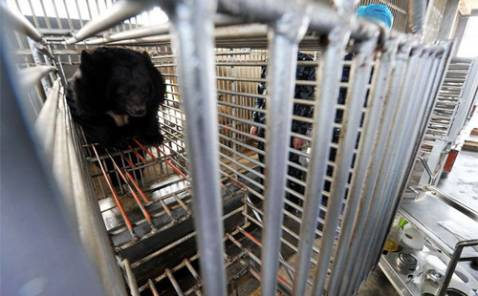 Bear bile extraction: abuse of bears in China